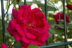 Rote Rosen für Liebhaber, Rosen, Rosen für den Tag der Liebe, die wunderbarsten natürlichen Rosen passend für Webdesign, Liebessy Stockbilder