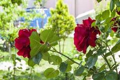 Rote Rosen für Liebhaber, Rosen, Rosen für den Tag der Liebe, die wunderbarsten natürlichen Rosen passend für Webdesign, Liebessy Lizenzfreie Stockfotos