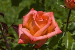 Rote Rosen für Liebhaber, Rosen, Rosen für den Tag der Liebe, die wunderbarsten natürlichen Rosen passend für Webdesign, Liebessy Lizenzfreie Stockfotografie