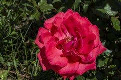 Rote Rosen für Liebhaber, Rosen, Rosen für den Tag der Liebe, die wunderbarsten natürlichen Rosen passend für Webdesign, Liebessy Stockfotos