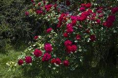 Rote Rosen für Liebhaber, Rosen, Rosen für den Tag der Liebe, die wunderbarsten natürlichen Rosen passend für Webdesign, Liebessy Lizenzfreies Stockbild