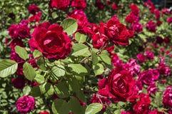 Rote Rosen für Liebhaber, Rosen, Rosen für den Tag der Liebe, die wunderbarsten natürlichen Rosen passend für Webdesign, Liebessy Stockfoto