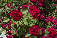 Rote Rosen für Liebhaber, Rosen, Rosen für den Tag der Liebe, die wunderbarsten natürlichen Rosen passend für Webdesign, Liebessy Lizenzfreies Stockfoto