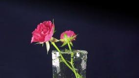 Rote Rosen fallen langsam, in einen Vase und aufzuprallen, Zeitlupe stock video footage