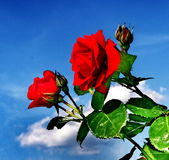 Rote Rosen gegen einen Hintergrund des blauen Himmels Stockbild