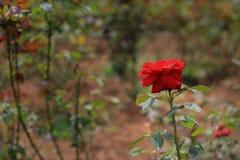 Rote Rosen im Garten stockfoto