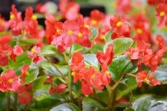 Rote Rosen im Garten Stockbild