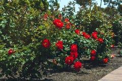 Rote Rosen im Garten Stockbilder