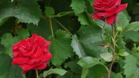Rote Rosen im Garten stock video footage
