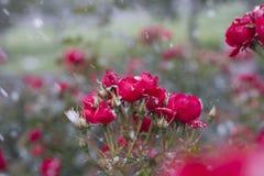 Rote Rosen im Schnee Stockfotos