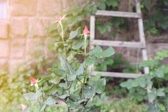 Rote Rosen-Knospe Stockbild