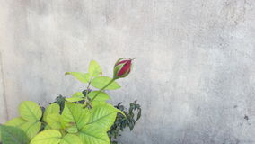 Rote Rosen-Knospe Lizenzfreies Stockbild