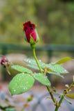 Rote Rosen-Knospe im Garten über natürlichem Hintergrund nach Regen Stockfotos