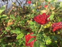 Rote Rosen mit dem Morgen befeuchten auf ihnen Lizenzfreies Stockfoto