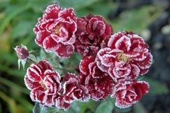 Rote Rosen mit Eiskristallen Stockbilder