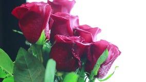 Rote Rosen mit Tautropfen auf einem weißen Hintergrund stock footage