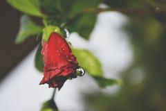Rote Rosen mit Wasser fällt in die Blumen lizenzfreies stockfoto