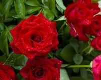 Rote Rosen mit Wassertropfen Stockbild