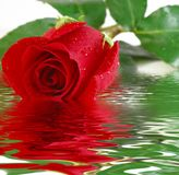 Rote Rosen-Reflexion Lizenzfreie Stockbilder