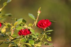 Rote Rosen und grüne Blätter im Garten stockbild