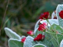 Rote Rosen in unseren G?rten stockbild