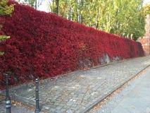 Rote Rosen-Wand Stockbild
