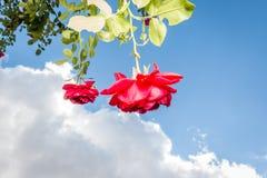 Rote Rosen, Wolken und blauer Himmel Stockfoto