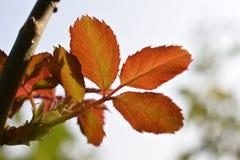 Rote Rosenblätter Stockfotos