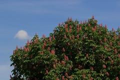 Rote Rosskastanie, Aesculus carnea, hybrides Aesculus hippocastanum, Stockfotografie