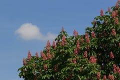 Rote Rosskastanie, Aesculus carnea, hybrides Aesculus hippocastanum, Stockfoto