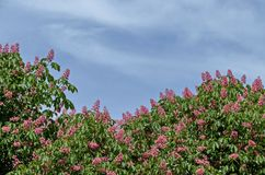 Rote Rosskastanie, Aesculus hippocastanum oder Conkerbaum mit Blume und Blatt Lizenzfreies Stockfoto