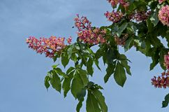 Rote Rosskastanie, Aesculus hippocastanum oder Conkerbaum mit Blume und Blatt Stockbilder