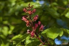 Rote Rosskastanie, Aesculus hippocastanum oder Conkerbaum mit Blume und Blatt Lizenzfreie Stockfotografie