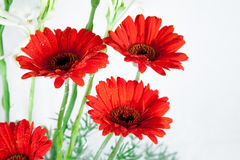 Rote rote Gänseblümchenblumen Lizenzfreie Stockfotografie