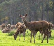 Rote Rotwild-Damhirschkuh und Herde Stockfotos