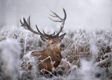Rote Rotwild im Winter Stockbild