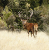 Rote Rotwild in Neuseeland Lizenzfreies Stockbild