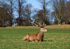 Rote Rotwild, Richmond-Park Stockfotos