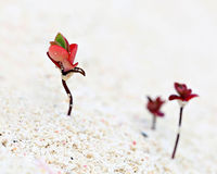 Rote Sämlinge im Sand Lizenzfreie Stockfotografie