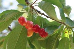 Rote süße Kirsche auf Baum Stockfotos