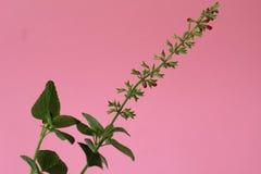 Rote Salvia-Knospen gegen einen rosa Hintergrund Lizenzfreies Stockbild