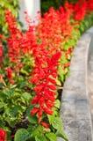 Rote Salvia Splendens Blume Lizenzfreie Stockfotos
