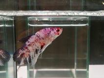 rote schöne betta Fische Lizenzfreies Stockbild