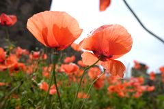 Red poppies with green leaves. Rote schöne Blumen stock photo