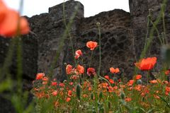 Red poppies with green leaves. Rote schöne Blumen stock photography