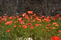 Red poppies with green leaves. Rote schöne Blumen royalty free stock photography