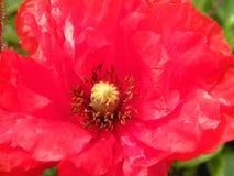 Rote schöne Mohnblumenblume, Litauen Stockbild