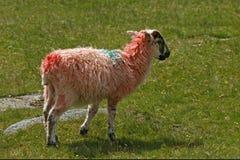 Rote Schafe, Cornwall, Südwesten England Stockfotografie