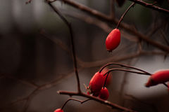 Rote Schatten der wilden Rosen Stockfotografie