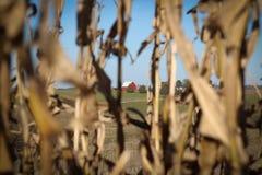 Rote Scheune durch getrocknete cornstalks lizenzfreie stockbilder
